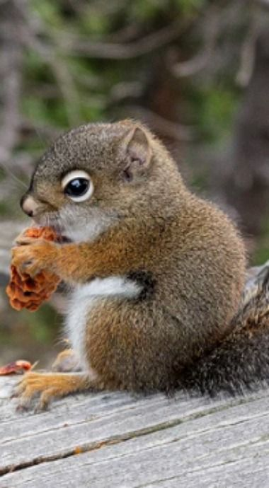 A ground squirrel sits on a log eating a small pine cone.