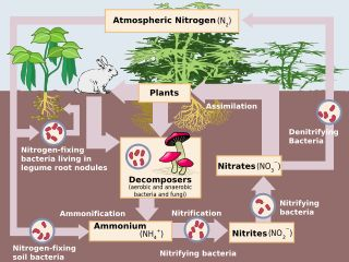 The Nitrogen Fixation process! Nitrogen is converted into ammonium through the process involving bacteria found in nitrogen producing nodules in the roots of certain plants: legumes, clover, varieties of peas, beans, lentils etc. It allows for coexisting species of plants to happily thrive!