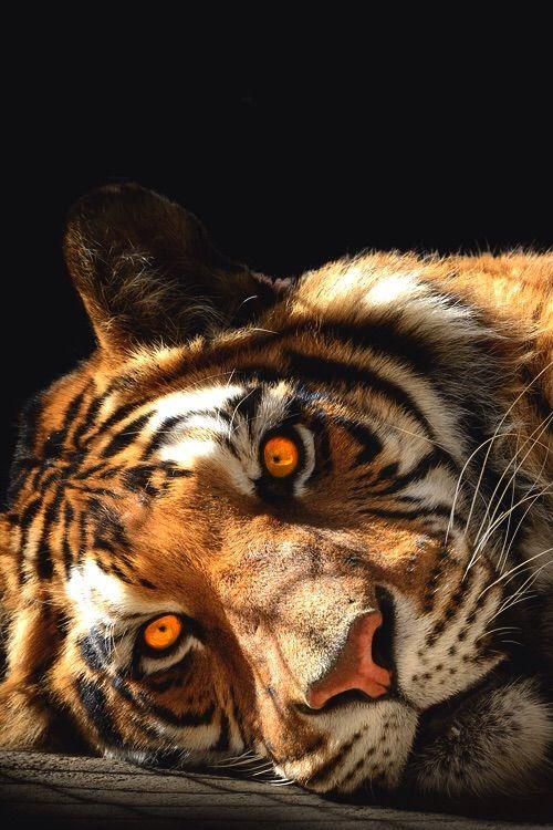 Tiger ~ Beautiful eyes.