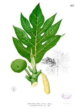 Artocarpus altilis   Árbol del pan