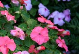 Ten Easy Annuals for the Home Gardener