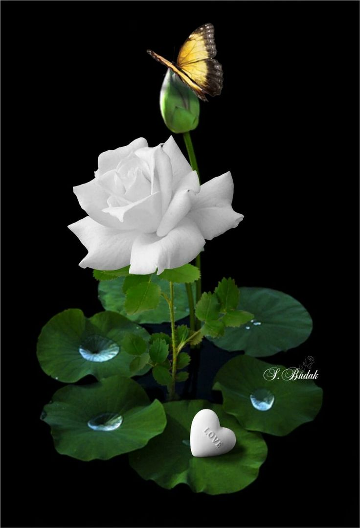 Pure Enchanting White Rose Flower.