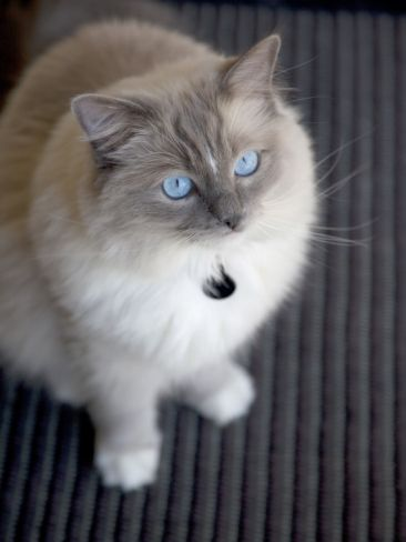 Ragdoll Cat   blue point mitted
