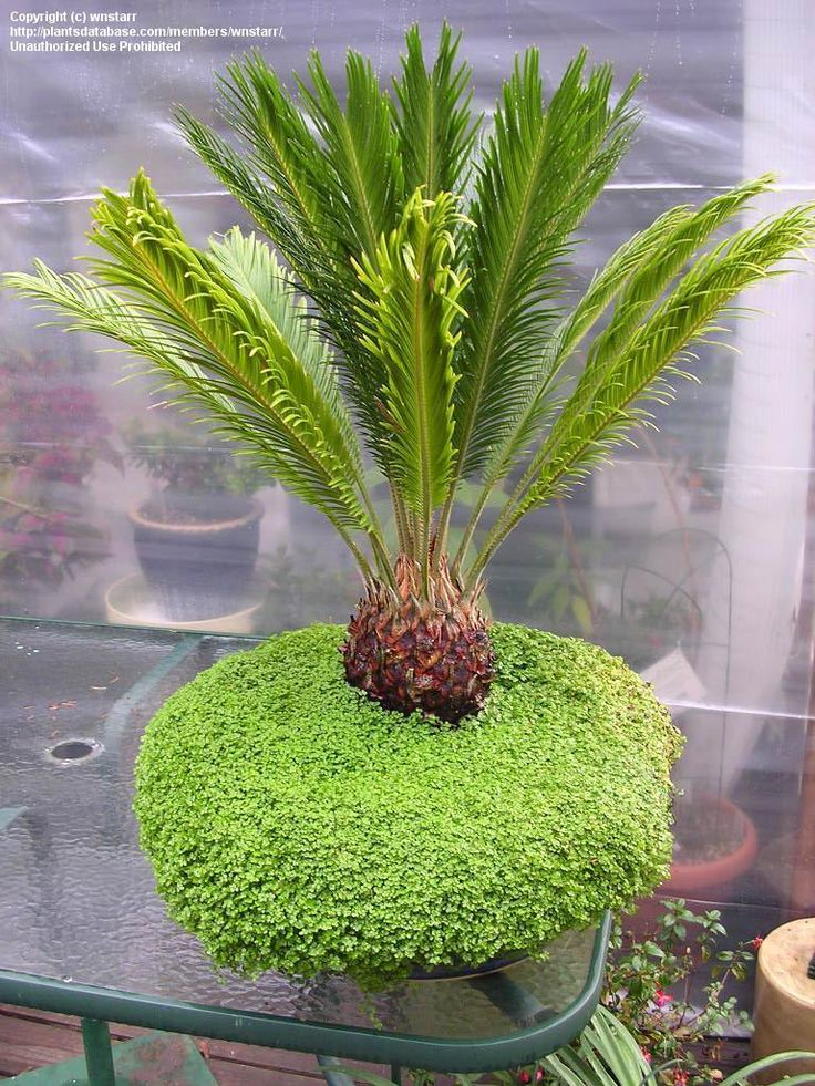 Full size picture of Cycad, Japanese Sago Palm, King Sago Palm, Sago Cycas, Sago Palm (Cycas revoluta)