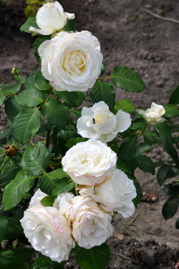 Rose RS Foto