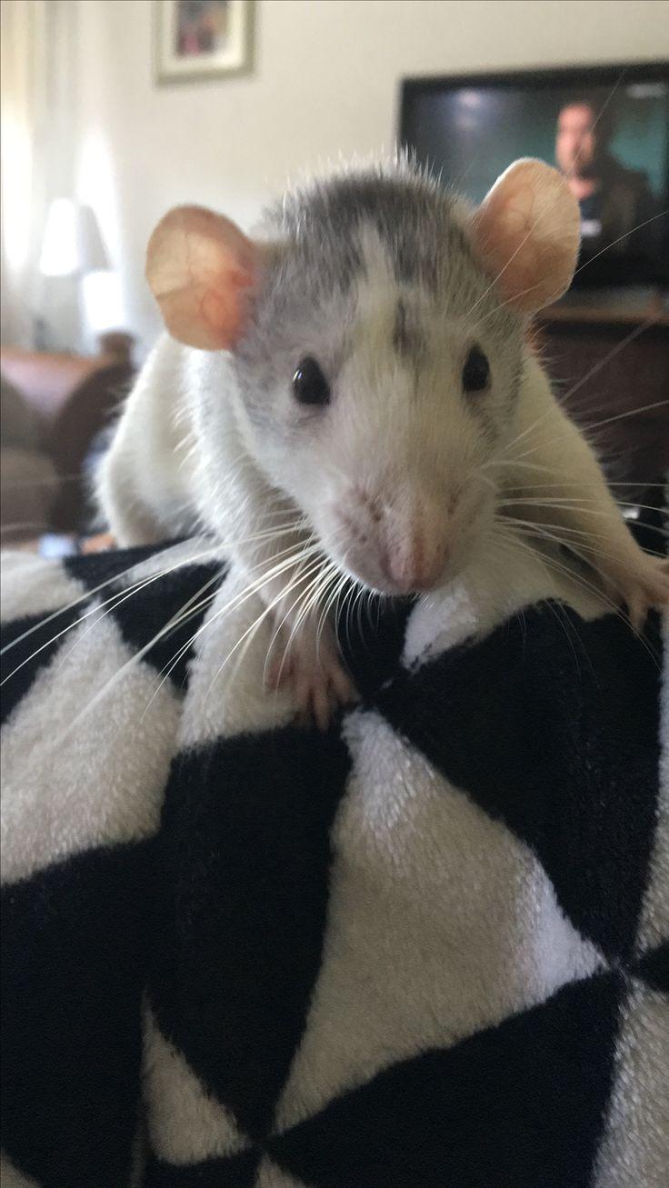 49 best Ratten images on Pinterest | Pet rats, Rats and Fancy rat