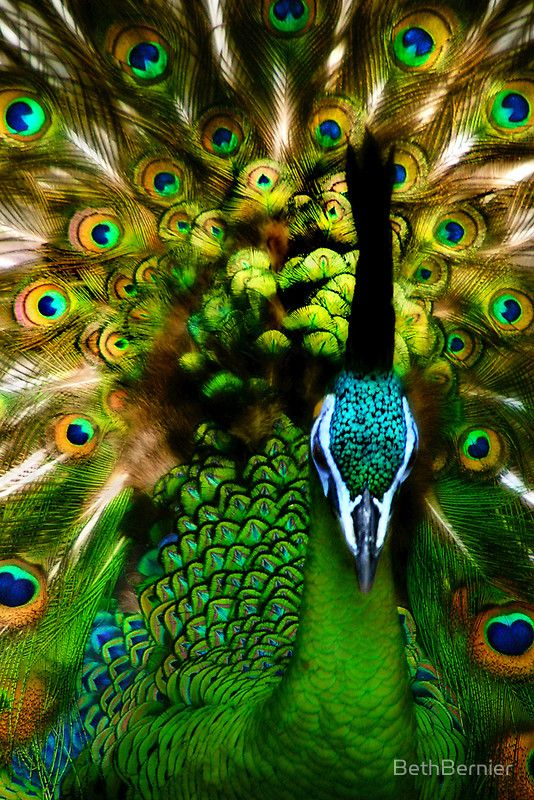 'Portrait of a Peacock' - Beth Bernier.: Peacock Feathers, God Is, Green, Beautiful, Vibrant Colors, Birds, Photo, Peacock Colors, Animal