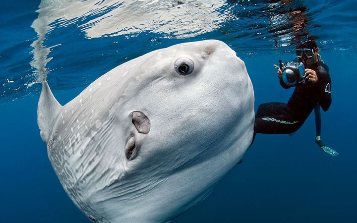 Most Bizarre Fish You've Ever Seen? A diver swims with a huge ocean sunfish, or Mola mola, off the coast of San Diego. They are the largest of the bony fish and often get mistaken for sharks due to their dorsal fins. They feed on jellyfish and plankton and are curious of humans, as seen in the photo. One threat to molas is drift nets, which they often get caught in, and garbage such as plastic bags that they mistake for jellyfish, their favorite food.