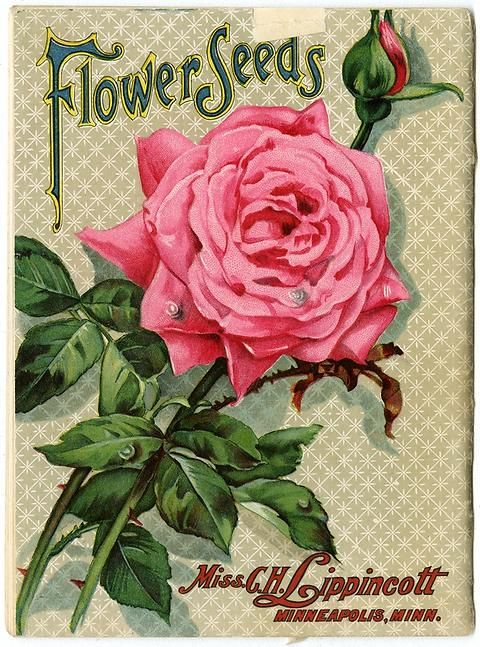 "A beautiful pink rose in full bloom and one in bud fill the back cover of Carrie Lippincott's 1909 catalog.  Carrie Lippincott, the self-proclaimed ""pioneer seedswoman"" and ""first woman in the flower seed industry"" established her mail-order flower seed business in Minneapolis in 1891."