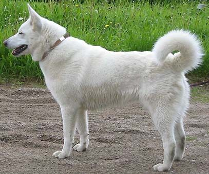 Swedish White Elkhound   Future pets?   Pinterest   Dog ...