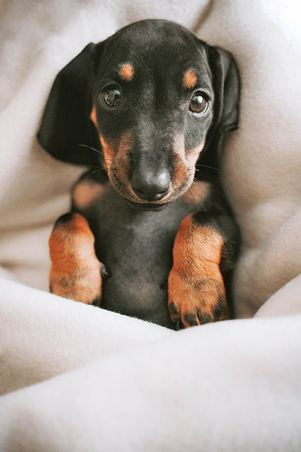 A Cute Dachshund Puppy Is Resting 7 Other Cute Animals Pictures