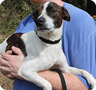 Prattville, AL - Jack Russell Terrier Mix. Meet Jackie 25806, a dog for adoption. http://www.adoptapet.com/pet/17133229-prattville-alabama-jack-russell-terrier-mix