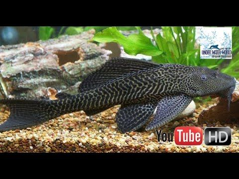 crocodile fish :never seen before very interesting  for aquriam
