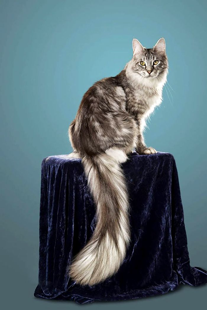 maine coon cat with the longest tail ever guinness record postkitty - Biggest Cat In The World Guinness 2013