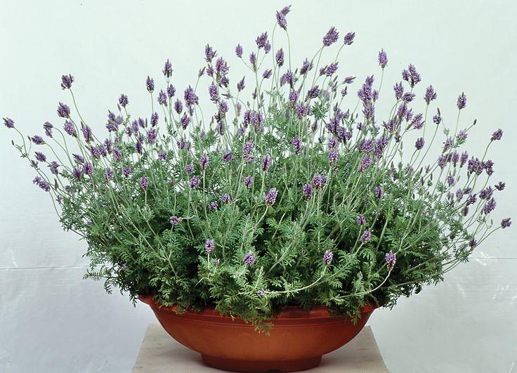 Lavender Spanish Eyes  Lavandula multifida  Perennial