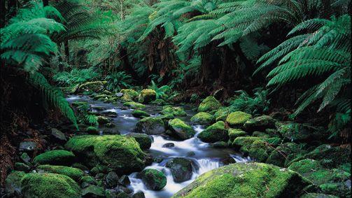 Otway Forest, Great Ocean Road, Victoria, Australia