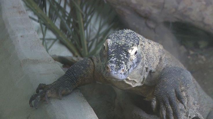 Le dragon de Komodo peut mesurer jusqu'à 3 mètres de long, un gigantisme qui s'explique par le fait qu'il n'est menacé par aucune autre espèce sur l'île. Les femelles sont capables de se reproduire par parthénogenèse et leur gueule est infestée de bactéries au point que leur proie meurent de septicémie avant de tomber de leurs blessures. Incontestablement, le roi de l'évolution darwinienne.