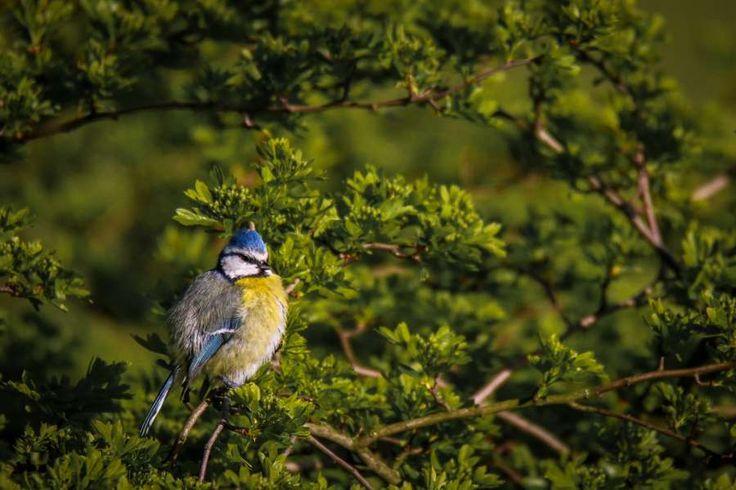 Blaumeise, singend in den Rieselfeldern Windel