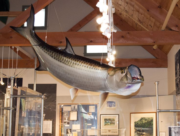 Made by King Sailfish Mounts of Fort Lauderdale, Florida, this tarpon casting is a replica of the world-record catch brought in by James (Jim) Holland Jr. on May 11, 2000. The fish weighed 202 lbs, 8 oz., and was the first 200-pound tarpon officially recorded as being caught on a fly.  During the more than two-hour battle, the tarpon pulled the boat Jim, his father, and guide Steve Kilpatrick were in nearly four miles; it took two people to hoist it onboard.