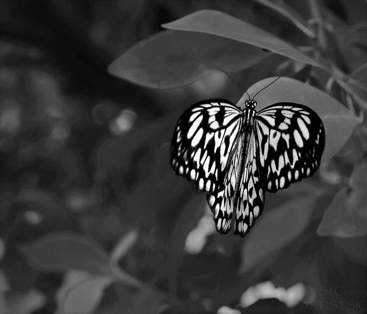 Butterfly picture taken at Butterfly Creek (Auckland, NZ) August 2017. #Butterfly #contrast @beholderglass