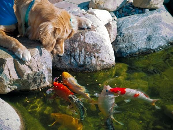 64 best dogs with koi fish images on pinterest koi ponds for Pool converted koi