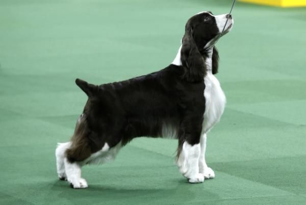 English Springer Spaniel Sweet Grass White Diamonds, also known as Liz, winner of the Sporting Group, is shown in the ring at the139th Westminster Kennel Club Dog Show at Madison Square Garden | View photo - Yahoo News Philippines