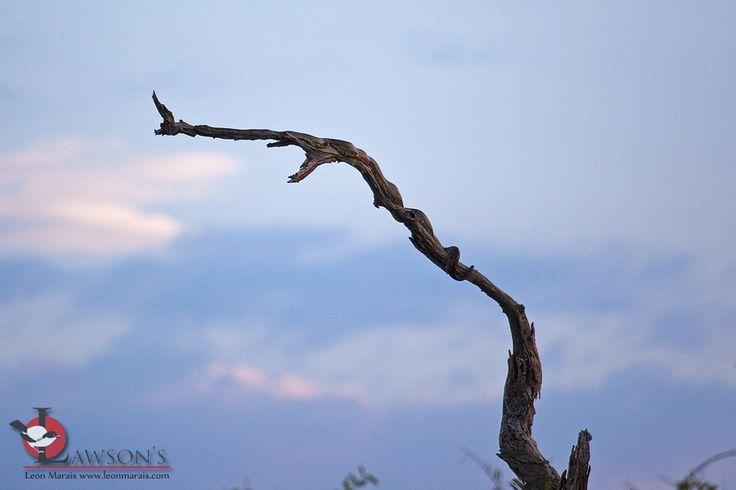 Can you spot it? African Rock Python waiting to ambush birds. #snakes #reptiles #safari