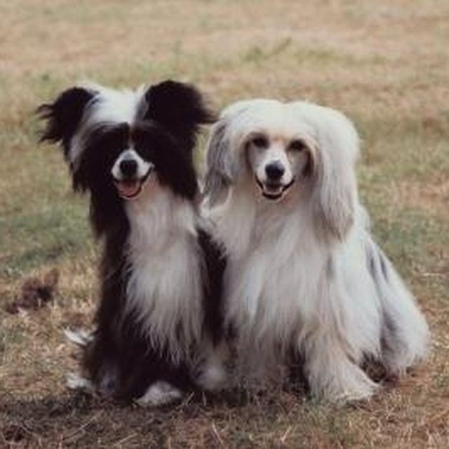 The powderpuff variety of Chinese Crested has flowing locks all over its body.
