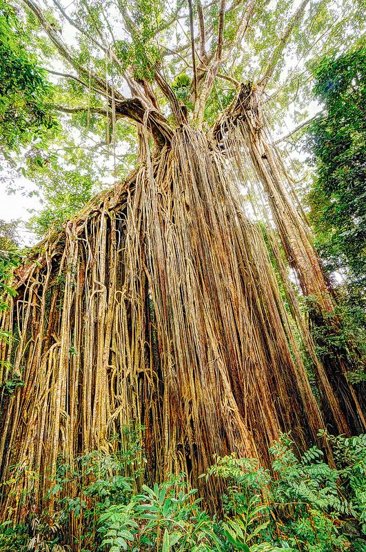 Curtain Fig on the Atherton Tablelands