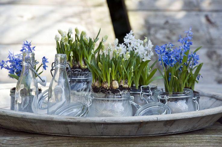 Det er jo så hyggelig med blomster inne – og nå er det virkelig sesong for løkplanter.