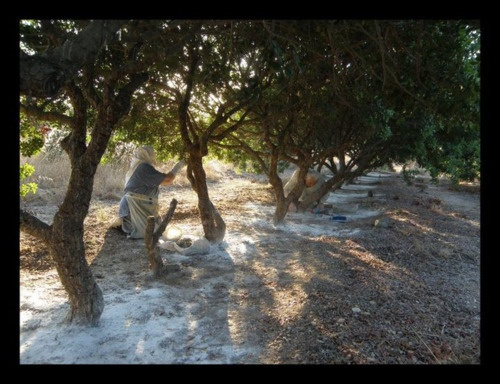 amassing the Chios mastic resin crops    Chios island, Greece