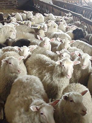Finnsheep. The Finnsheep is often used in crossbreeding programs to increase lambing percentage, and Finnsheep blood is found in many of the newer breeds. Dolly the sheep, first mammal to be cloned from an adult somatic cell, was a Finnish Dorset.