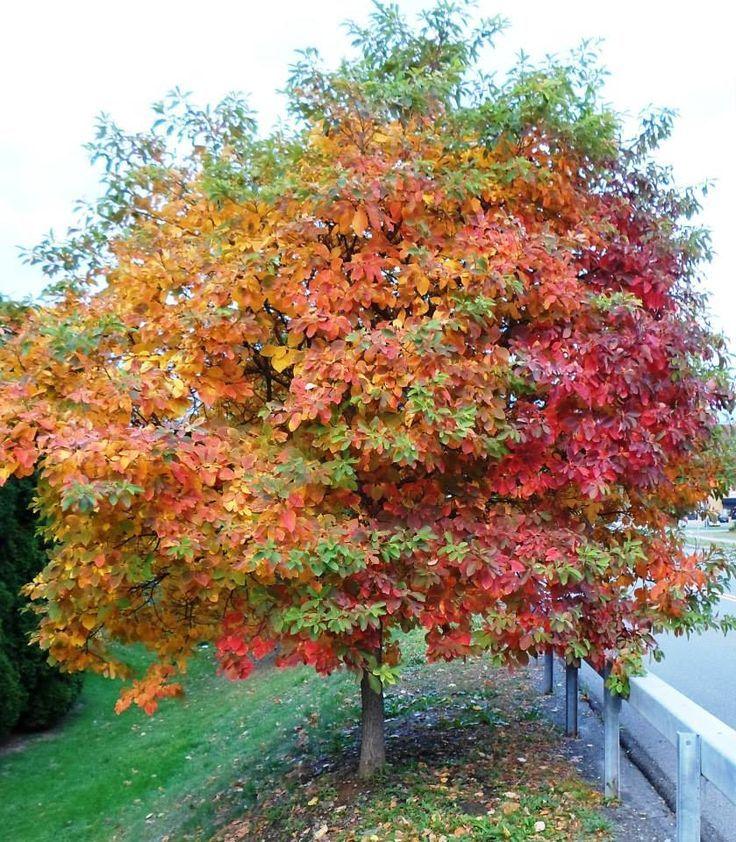 sassafras trees - Google Search