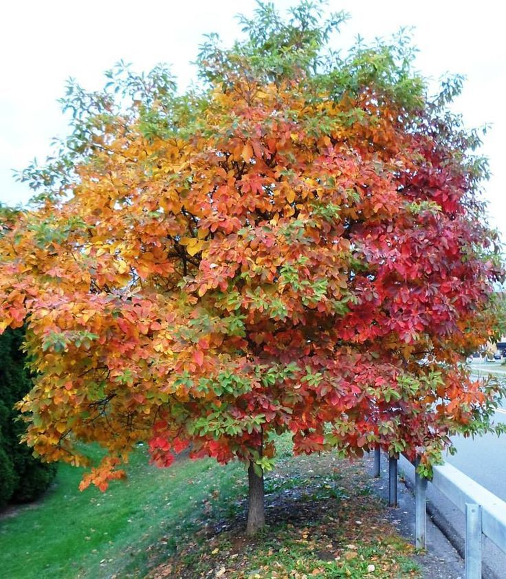 17 best images about sassafras trees on pinterest trees mosquitoes and leaves - Planting fruit trees in the fall a garden full of vigor ...