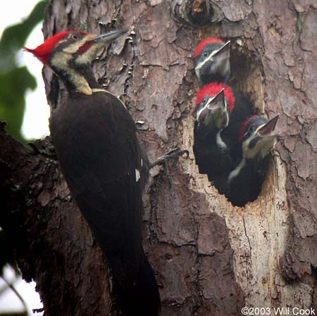 A family of Pileated Woodpeckers. They are the largest and ...