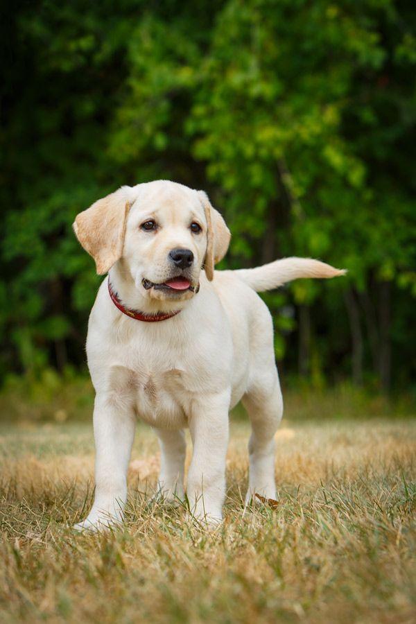 Barbara O Brien Photography Golden Labrador Puppies Labrador