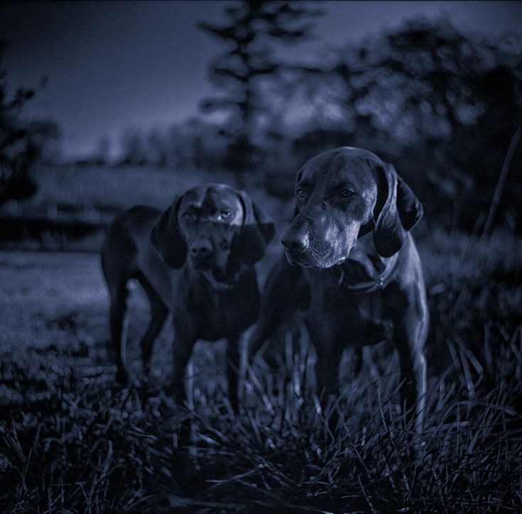 Vizsla Pups Hunting Night Photography Maryland Film Photographer Pet Portraits Photography Night Photography Pet Portraits