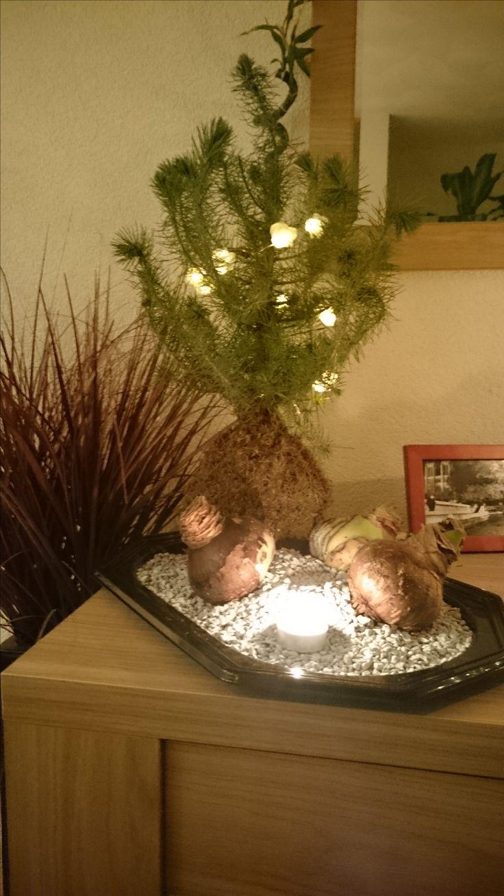 Kerst idee: Een Blauwspar kokedama. Geen tijd/ zin om zelf te knutselen maar wil je wel orginele kerstversiering?