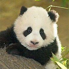 El zoológico de Schönbrunn en Viena es el zoo más antiguo del mundo y fue elegido en 2010 como el mejor zoológico de Europa. Un bebé panda, crías de elefantes y muchos otros animales raros atraen cada año a más de dos millones de visitantes.© Tiergarten Schönbrunn