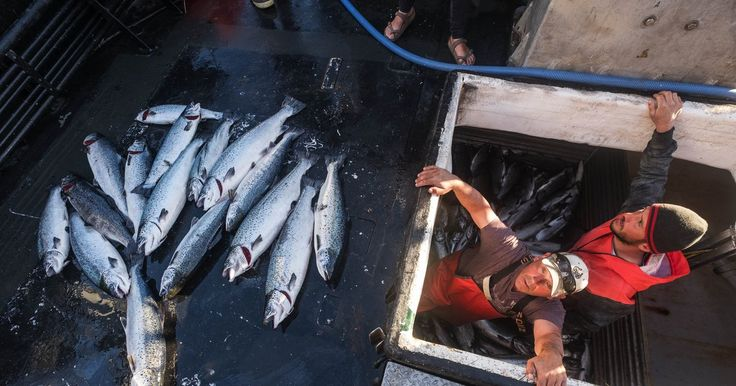 """Thousands of farmed Atlantic salmon were accidentally released into the waters between Anacortes and the San Juan Islands, and officials are asking people to catch as many as possible. Tribal fishers, concerned about native salmon populations, call the accident """"a devastation."""""""