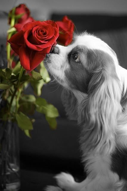 King Charles spaniel and red rose~ Splash of color