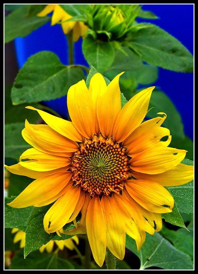 ✯ Sunflower - Christine, I miss you.