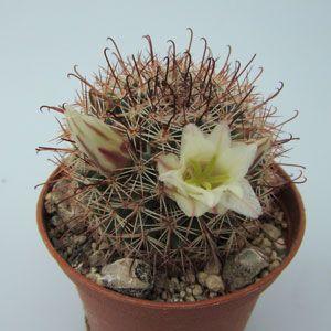 Mammillaria dioica S of Catavina BC