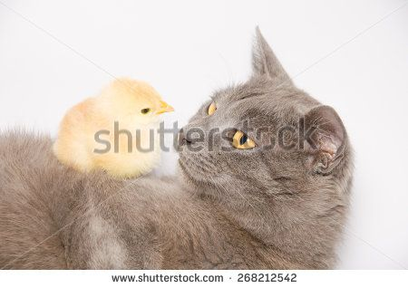 Studio portrait of baby chick lying on a cat isolated on white background. #Pets #animals #Chick #Cat #Feline #Domestic #Studio #Portrait #WhiteBackground #Sweet #Adorable #Chartreux #Baby #Kitty #Kitten #Catd #AnimalWallpapers