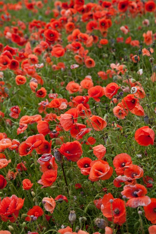 """Self-seeding annual: Poppy. 12-18"""", blooms late spring to mid summer. Plant in full sun."""