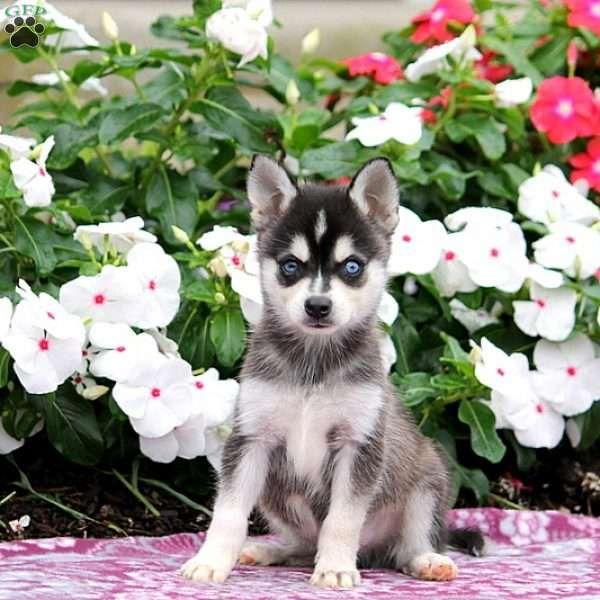 Tyson Alaskan Klee Kai Puppy For Sale In Pennsylvania Alaskan