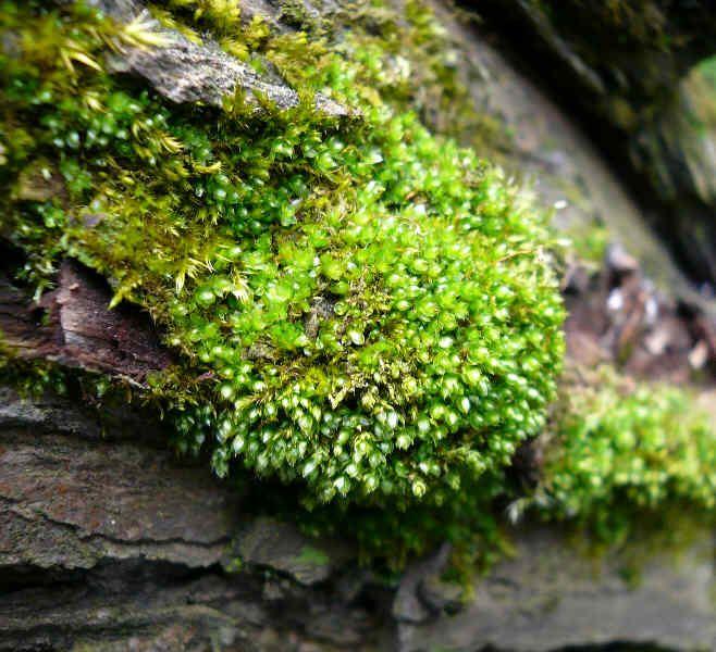 Bryum moravicum - prutník moravský •drobné, strředné velké až mohutné rostliny •zpravidla vzpřímeně roztoucí •lodyhy jsou nevětvené, nebo slabě větvené  •listy často více či méně nahloučené jemně zoubkate pod špičkou, často úzce ohrnuté