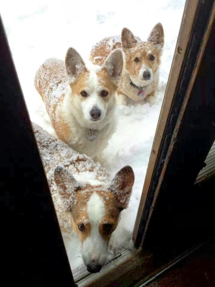 The Daly Corgi: Top 20 Ways for Corgis To Spend a Snow Day