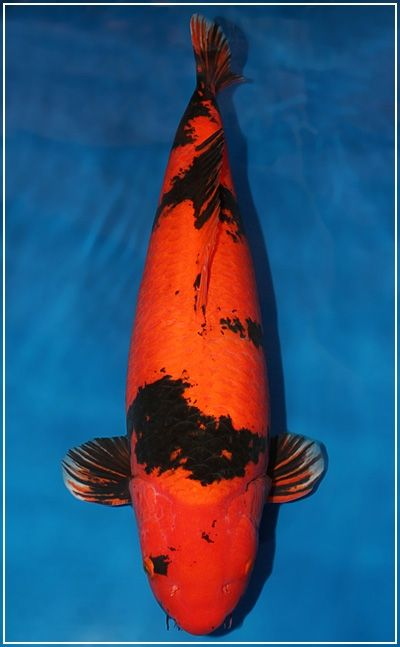 Shinoda hi utsuri koi pinterest koi for Japanese koi fish names
