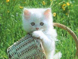 Gattino bianco carino